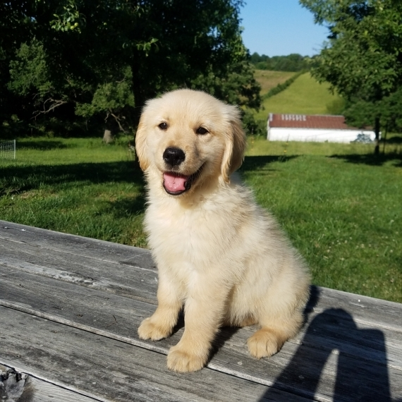 Connecticut SWdes AKC Golden Retriever Puppies For Lovely Fami