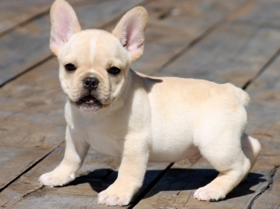 Connecticut Beautiful French Bulldog Puppies For Sale : Pets